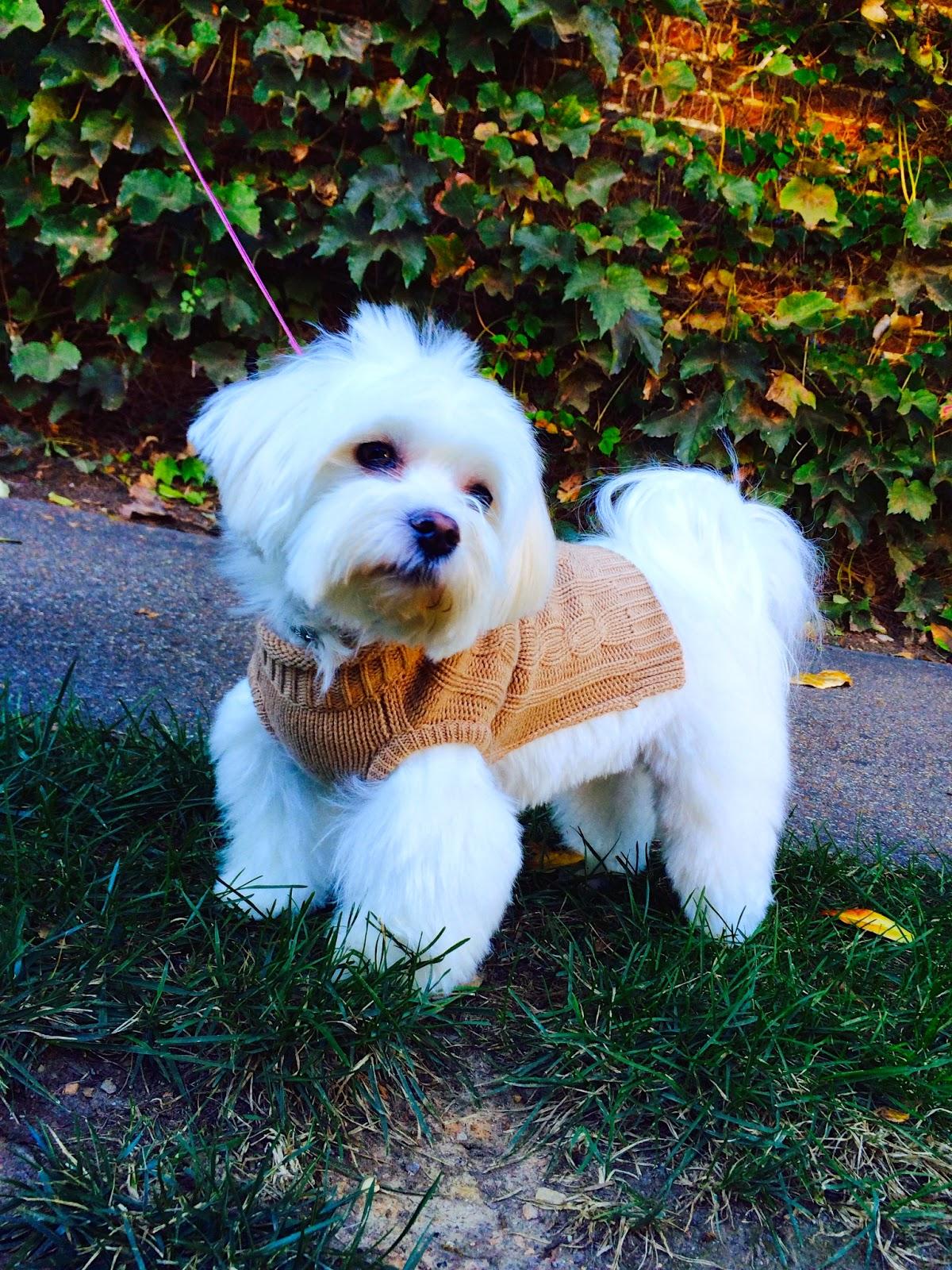 Ella-morkie-sweater-puppy