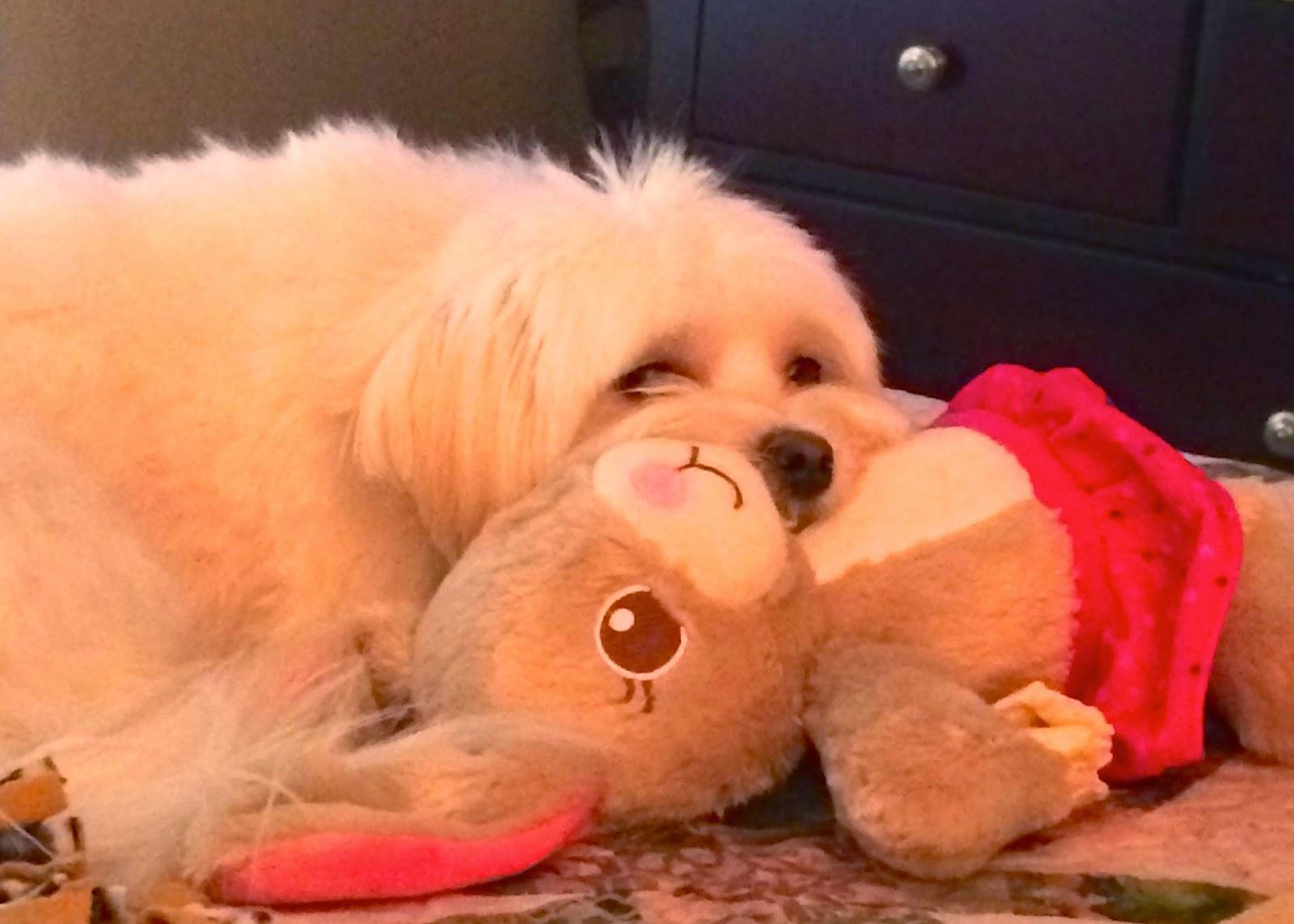 morkie-dog-puppy-Ella