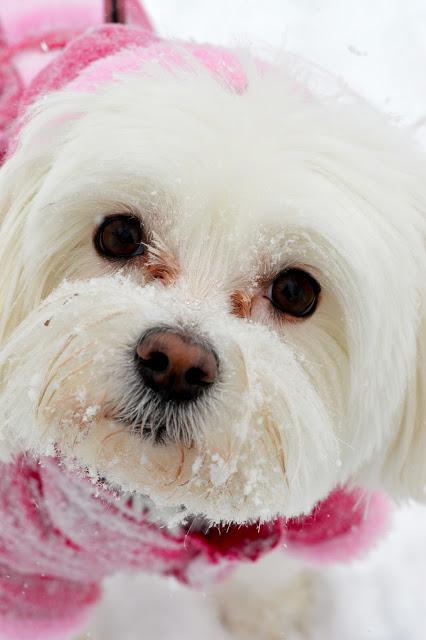 snow-morkie