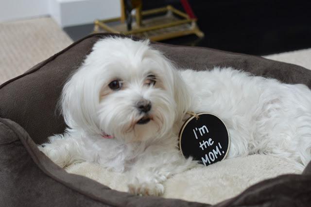 maltese-dog-birthday