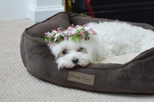 flower-crown-for-dog