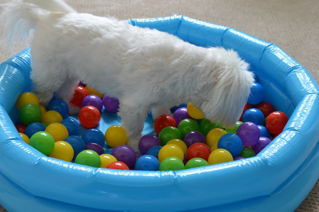 ball-pit-for-dogs