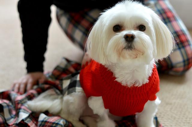 maltese-yorkie-christmas-sweater
