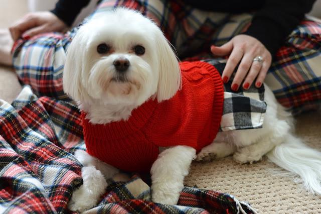 morkie-christmas-sweater
